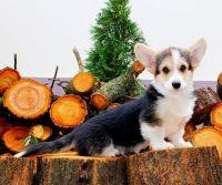 Pembroke Welsh Corgi Puppies for sale in Sacramento, CA, USA. price: NA