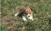 Pembroke Welsh Corgi Puppies for sale in Bethesda, MD, USA. price: NA