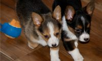 Pembroke Welsh Corgi Puppies for sale in Fargo, ND, USA. price: NA