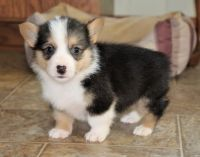 Pembroke Welsh Corgi Puppies for sale in Casper, WY, USA. price: NA