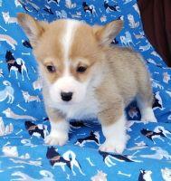 Pembroke Welsh Corgi Puppies for sale in Santa Monica, CA, USA. price: NA