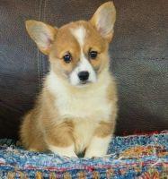 Pembroke Welsh Corgi Puppies for sale in Marsh Ln, Dallas, TX, USA. price: NA