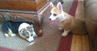 Pembroke Welsh Corgi Puppies for sale in Tallahassee, FL, USA. price: NA