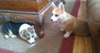 Pembroke Welsh Corgi Puppies for sale in Boise, ID, USA. price: NA