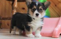 Pembroke Welsh Corgi Puppies for sale in Joliet, IL, USA. price: NA