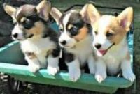 Pembroke Welsh Corgi Puppies for sale in Portland, OR, USA. price: NA