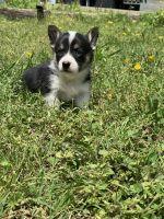 Pembroke Welsh Corgi Puppies for sale in Ringgold, VA 24586, USA. price: NA