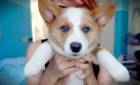 Pembroke Welsh Corgi Puppies for sale in Indianapolis, IN, USA. price: NA