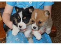 Pembroke Welsh Corgi Puppies for sale in Louisville, KY, USA. price: NA