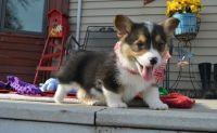 Pembroke Welsh Corgi Puppies for sale in Hays, KS 67601, USA. price: NA