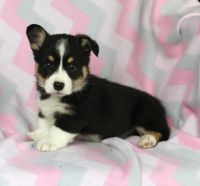 Pembroke Welsh Corgi Puppies for sale in Springfield, MA 01119, USA. price: NA