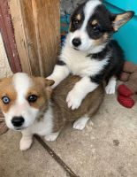 Pembroke Welsh Corgi Puppies for sale in Detroit, MI, USA. price: NA