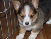 Pembroke Welsh Corgi Puppies for sale in Dover, DE, USA. price: NA