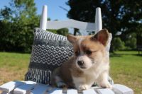 Pembroke Welsh Corgi Puppies for sale in Walden, CO 80480, USA. price: NA