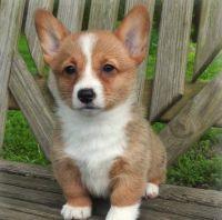Pembroke Welsh Corgi Puppies for sale in Annandale, VA, USA. price: NA
