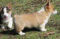 Pembroke Welsh Corgi Puppies for sale in Chandler, AZ, USA. price: NA