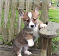 Pembroke Welsh Corgi Puppies for sale in Ocean City, NJ, USA. price: NA