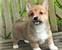 Pembroke Welsh Corgi Puppies for sale in Fort Worth, TX, USA. price: NA