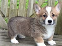 Pembroke Welsh Corgi Puppies for sale in Thorp, WI 54771, USA. price: NA