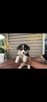 Pembroke Welsh Corgi Puppies for sale in Burgettstown, PA 15021, USA. price: NA