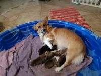 Pembroke Welsh Corgi Puppies for sale in 1305 Wildcat Dr, Portland, TX 78374, USA. price: NA