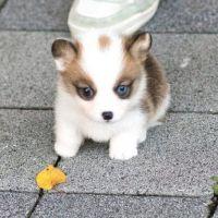 Pembroke Welsh Corgi Puppies for sale in Seattle, WA, USA. price: NA