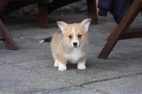 Pembroke Welsh Corgi Puppies for sale in Mountain View, CA, USA. price: NA