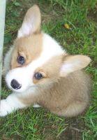 Pembroke Welsh Corgi Puppies for sale in Charlotte, NC, USA. price: NA
