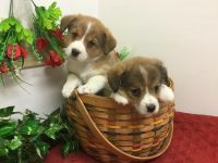 Pembroke Welsh Corgi Puppies for sale in West Palm Beach, FL, USA. price: NA