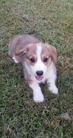 Pembroke Welsh Corgi Puppies for sale in Baytown, TX, USA. price: NA