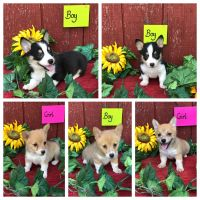 Pembroke Welsh Corgi Puppies for sale in Maryville, MO 64468, USA. price: NA