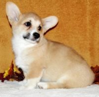 Pembroke Welsh Corgi Puppies for sale in US-1, Jacksonville, FL, USA. price: NA