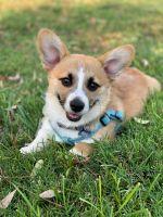 Pembroke Welsh Corgi Puppies for sale in Davis, CA, USA. price: NA
