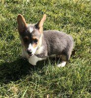 Pembroke Welsh Corgi Puppies for sale in 175 Johnson Dr, Ogallala, NE 69153, USA. price: NA