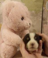 Pembroke Welsh Corgi Puppies for sale in Chariton, IA 50049, USA. price: NA