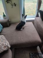 Pembroke Welsh Corgi Puppies for sale in Lancaster, PA, USA. price: NA