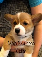 Pembroke Welsh Corgi Puppies for sale in Roberts, MT 59070, USA. price: NA