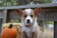 Pembroke Welsh Corgi Puppies for sale in Granite Shoals, TX 78654, USA. price: NA