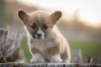 Pembroke Welsh Corgi Puppies for sale in Bruneau, ID 83604, USA. price: NA