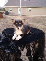 Pembroke Welsh Corgi Puppies for sale in Seneca, MO 64865, USA. price: NA