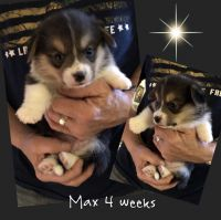Pembroke Welsh Corgi Puppies for sale in Clintonville, WI 54929, USA. price: NA