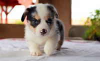 Pembroke Welsh Corgi Puppies for sale in Jersey City, NJ, USA. price: NA