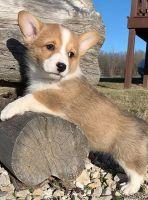Pembroke Welsh Corgi Puppies for sale in Peachtree City, GA, USA. price: NA