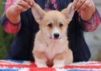 Pembroke Welsh Corgi Puppies for sale in California City, CA, USA. price: NA