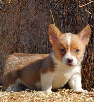 Pembroke Welsh Corgi Puppies for sale in Marana, AZ, USA. price: NA