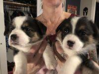 Pembroke Welsh Corgi Puppies Photos