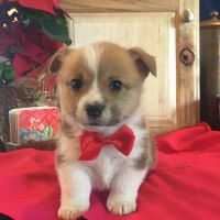 Pembroke Welsh Corgi Puppies for sale in Payson, UT, USA. price: NA