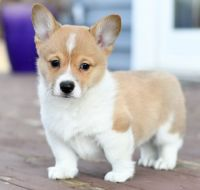 Pembroke Welsh Corgi Puppies for sale in Raleigh, NC, USA. price: NA