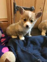 Pembroke Welsh Corgi Puppies for sale in Philadelphia, PA, USA. price: NA