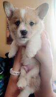 Pembroke Welsh Corgi Puppies for sale in Kansas City, MO, USA. price: NA